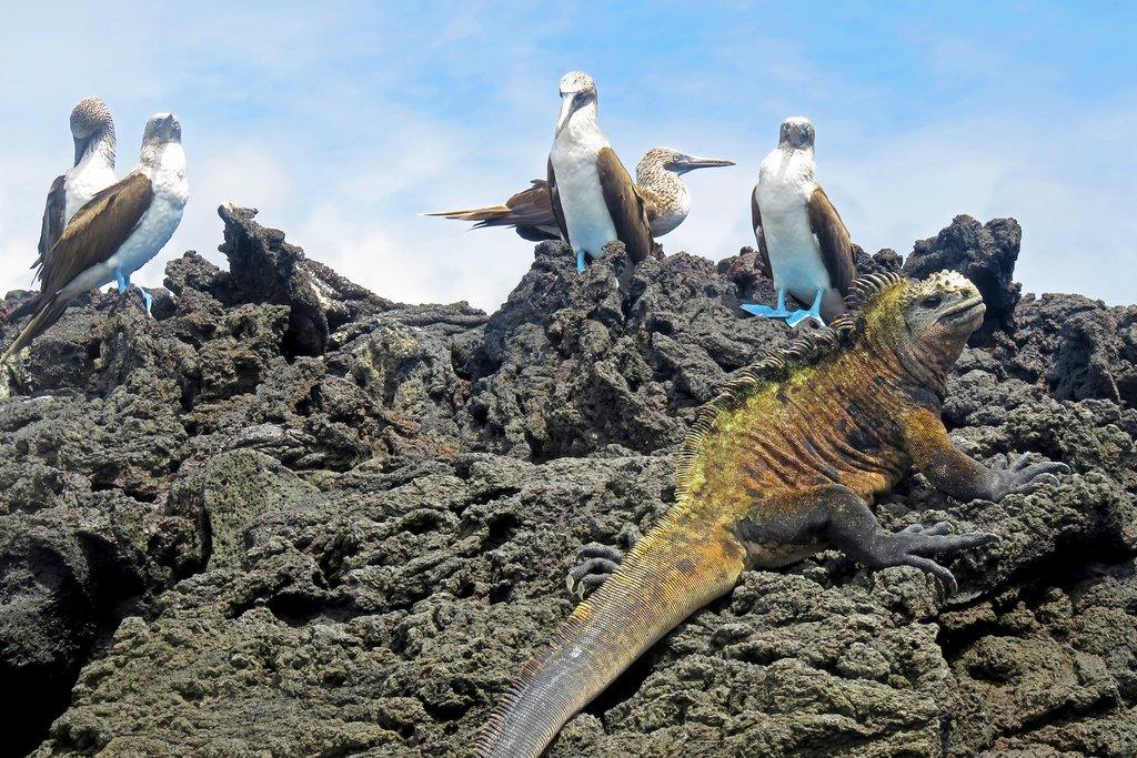 Marine Iguana, Galápagos Islands