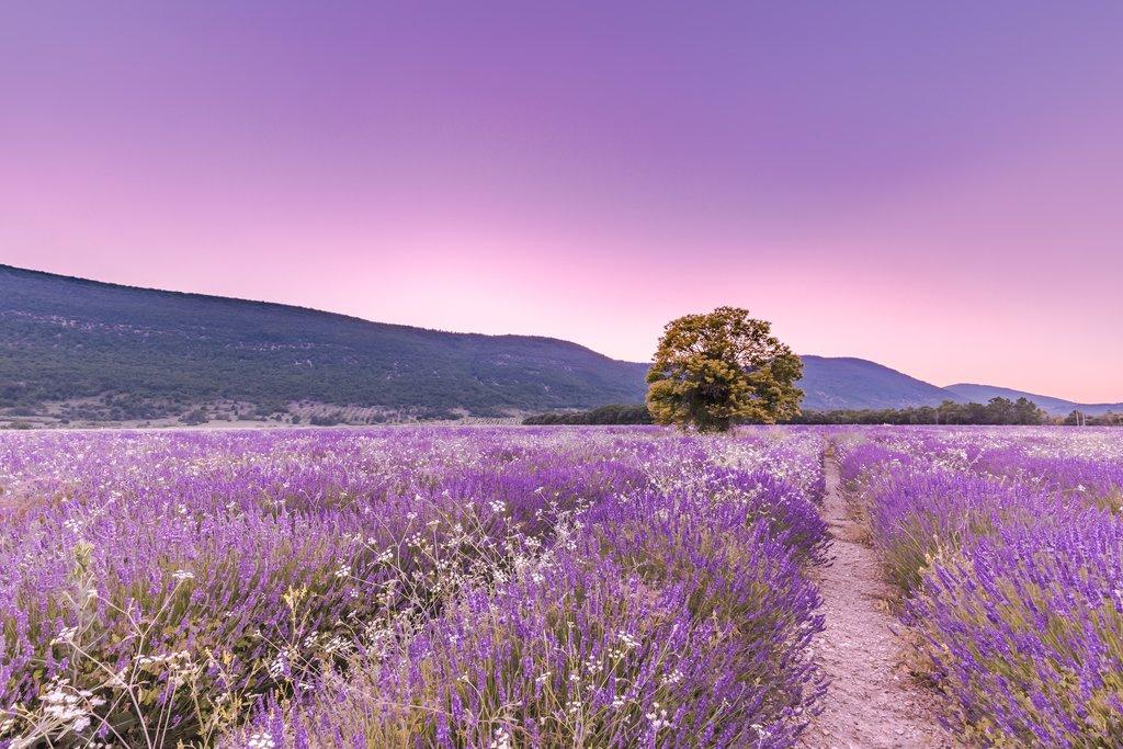 Beautiful fields of lavender in Monaco