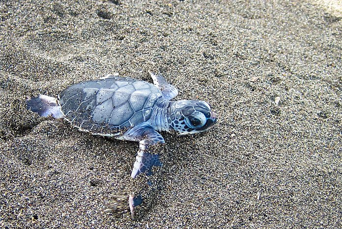 Baby turtle on the beach in Tortuguero National Park