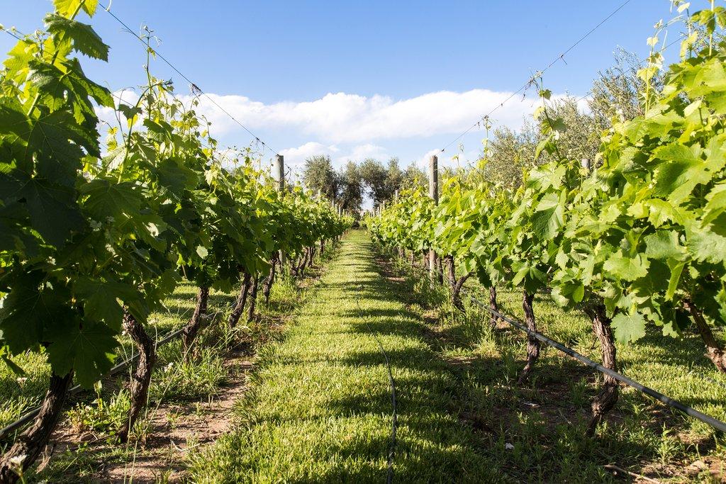 A Malbec vineyard in Mendoza