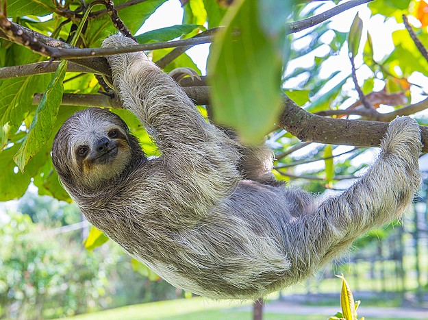 A sloth hanging around in Costa Rica