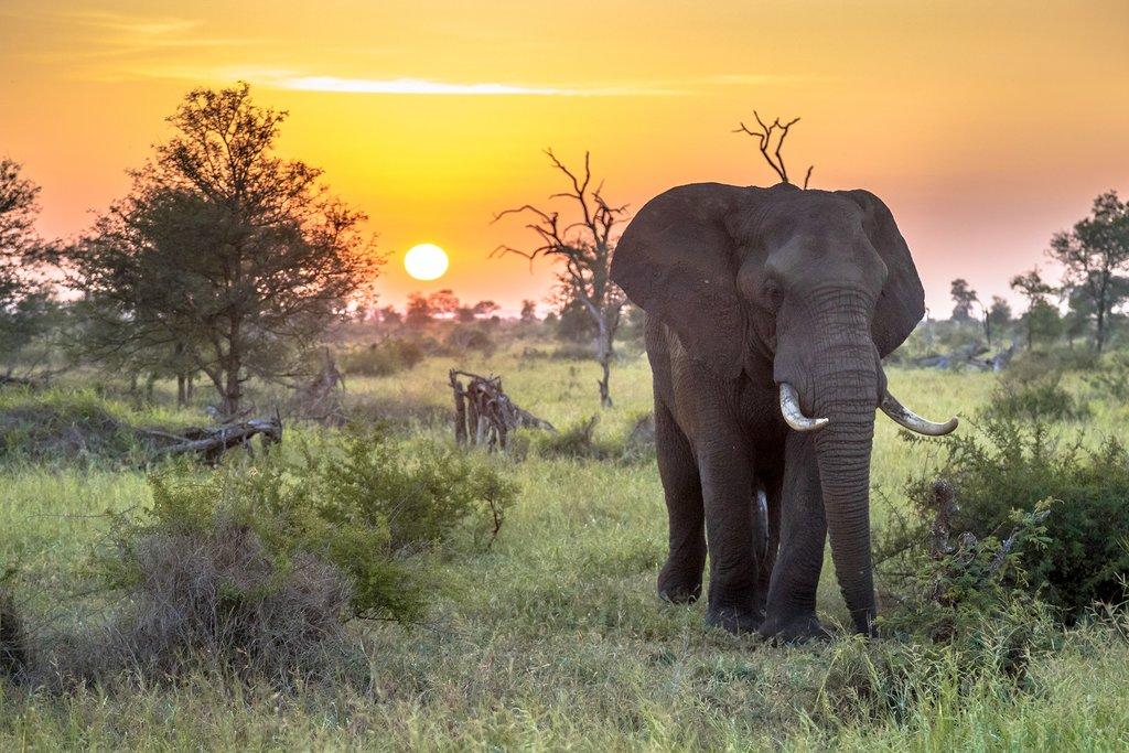 Elephant at sunset in Kruger National Park