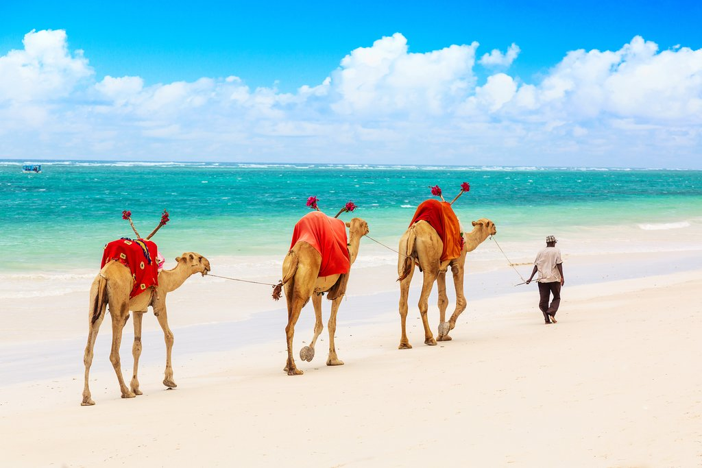 Camels at African sandy Diani beach, Indian ocean in Kenya, African landscape.