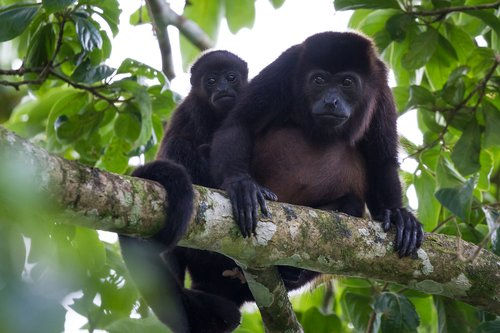 Howler monkeys in a Costa Rica rainforest.