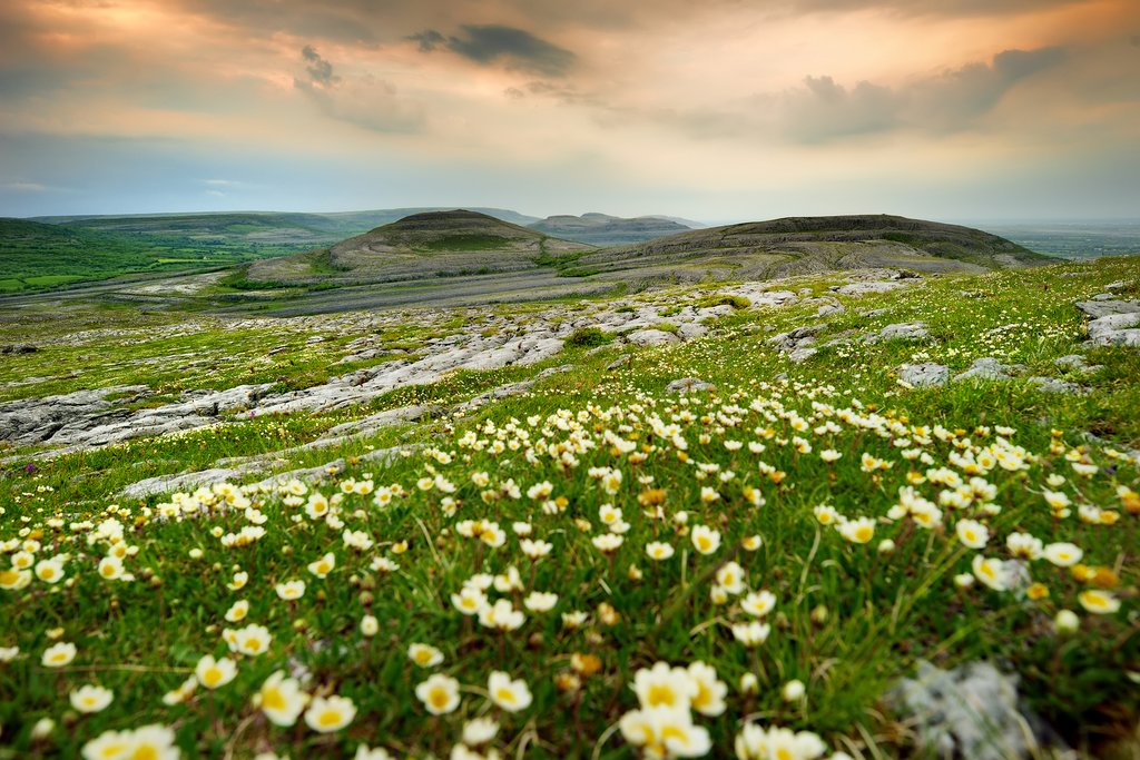 Wildflowers and Limestone Rock in Ireland