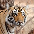 Land of the Tiger: Wildlife & Cultural Tour - 13 Days