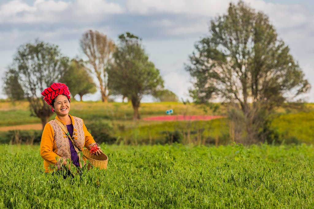 A woman harvesting red chili near Kalaw, Myanmar