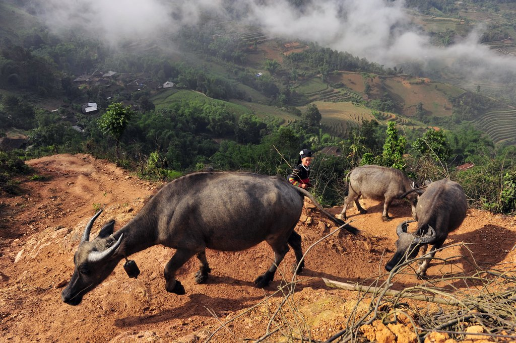 Hmong woman moving her herd.