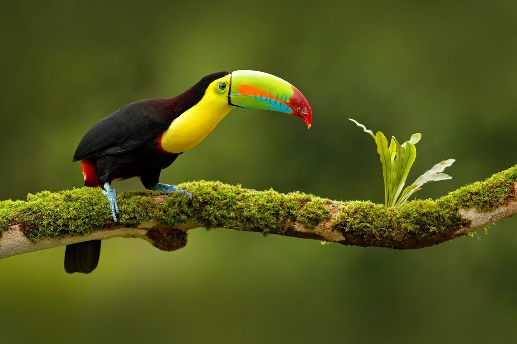 Toucan in Yasuni National Park