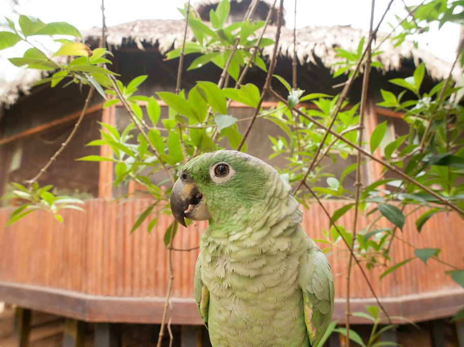 Green Parrot posing at a lodge in Peru.