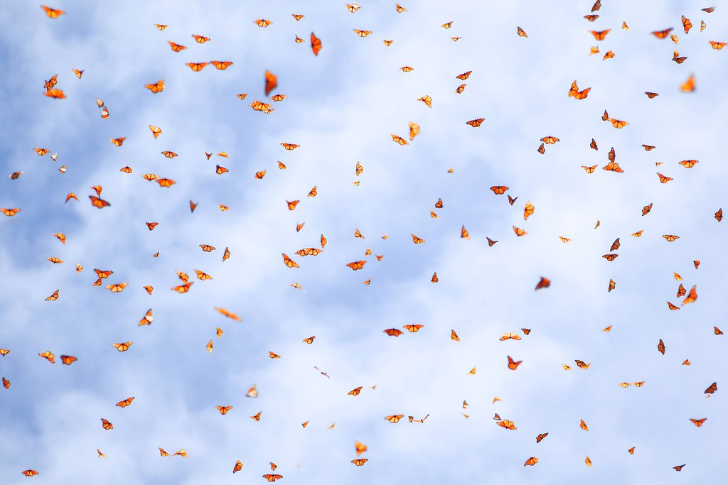 Monarch butterflies in the sky, Mexico