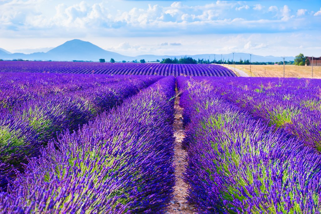 Lavender fields near Valensole