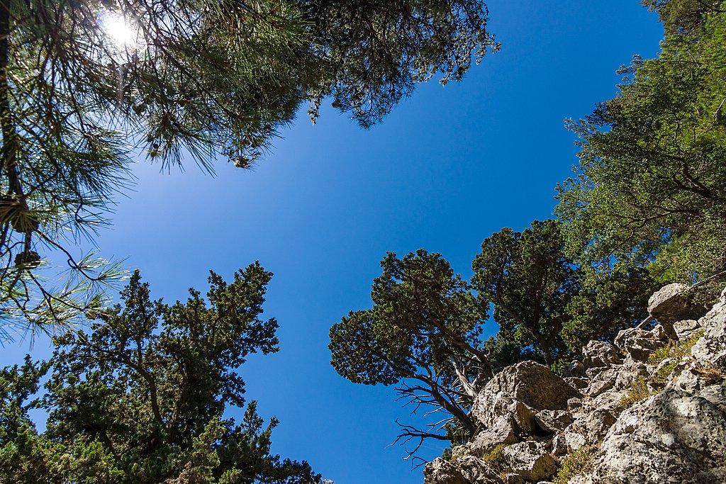 Pine trees on Crete