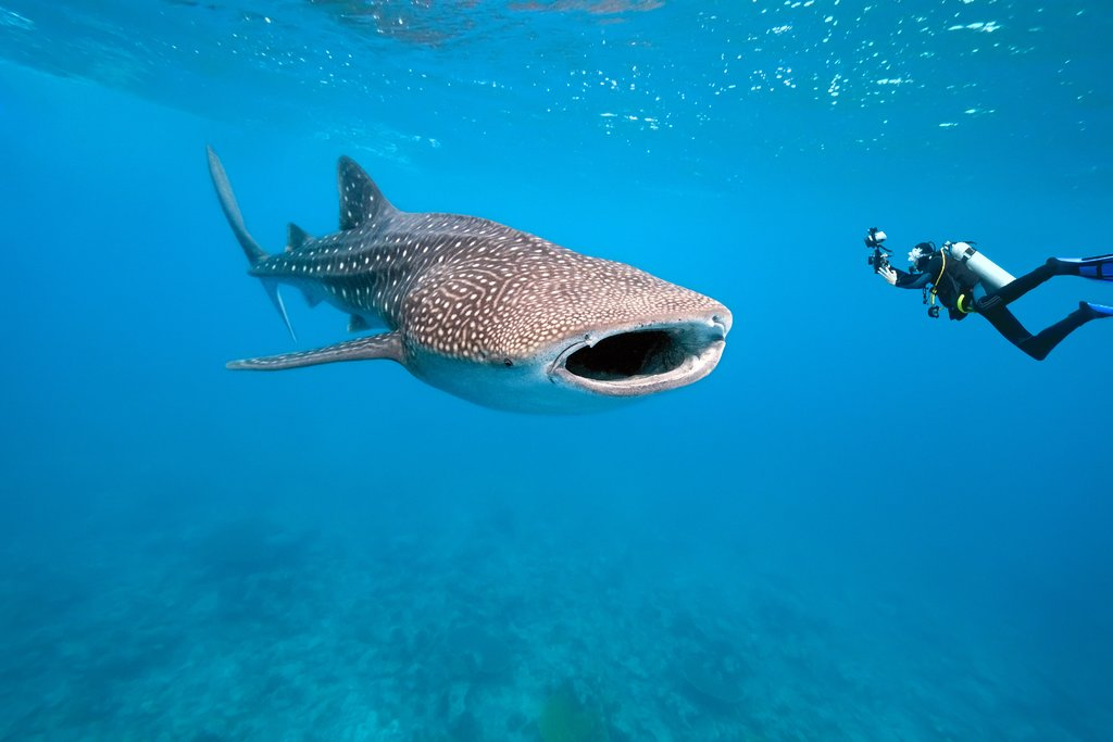 Whale shark in Bahia de Corrientes