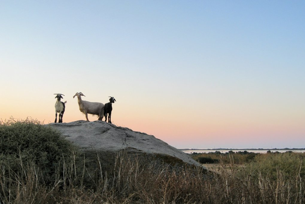 Some of Naxos' four-legged residents