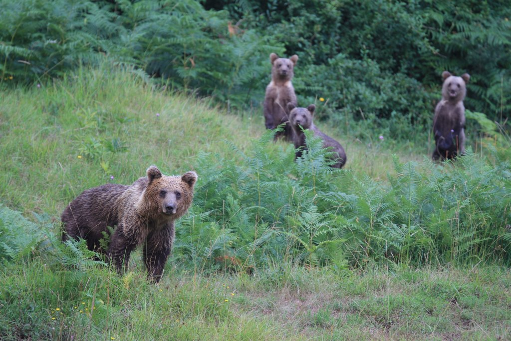 Slovenian forests are home to 400-500 bears