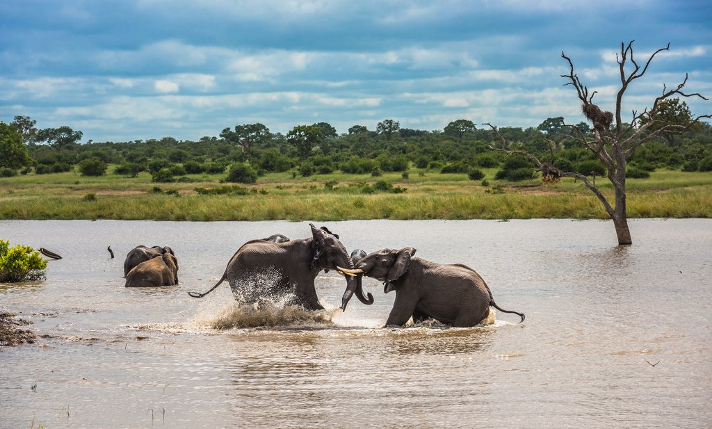 Young elephants playing in the water in Kruger National Park