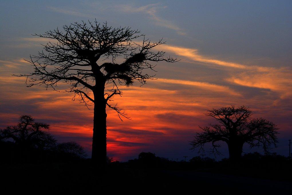 Baobab in Kruger
