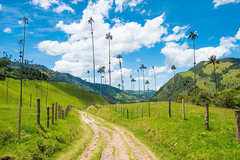 Iconic wax palm trees in the Cocora Valley