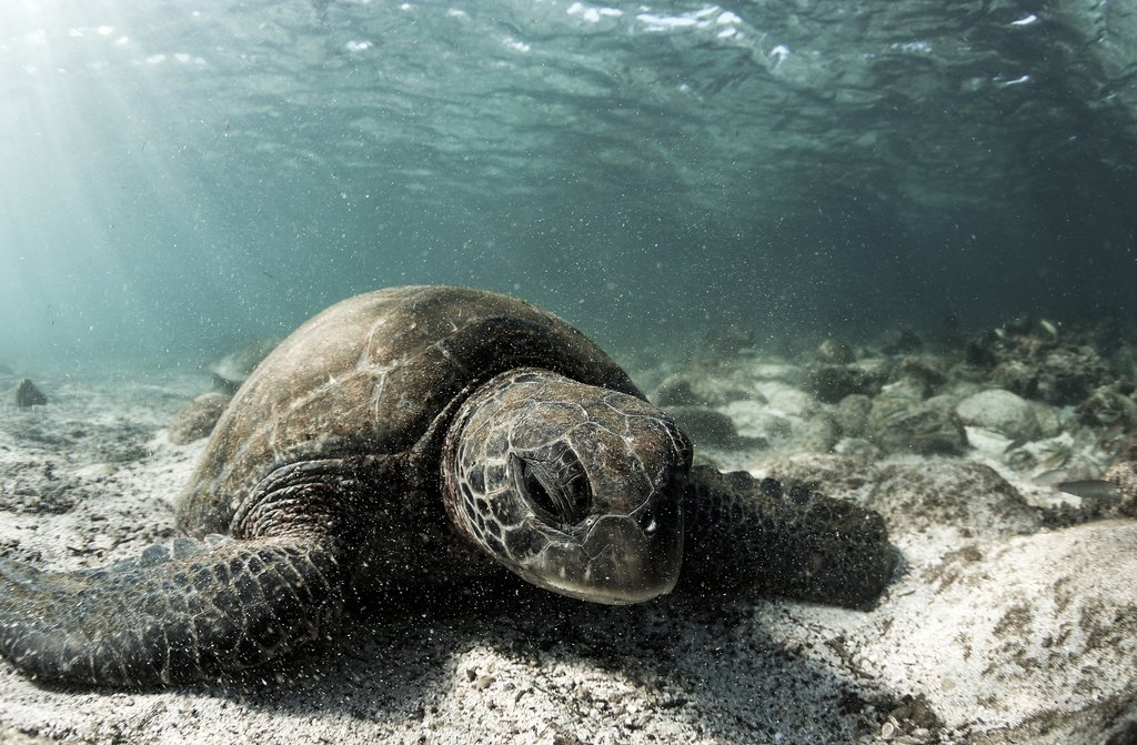Green Sea Turtle under water on the Galapagos Islands