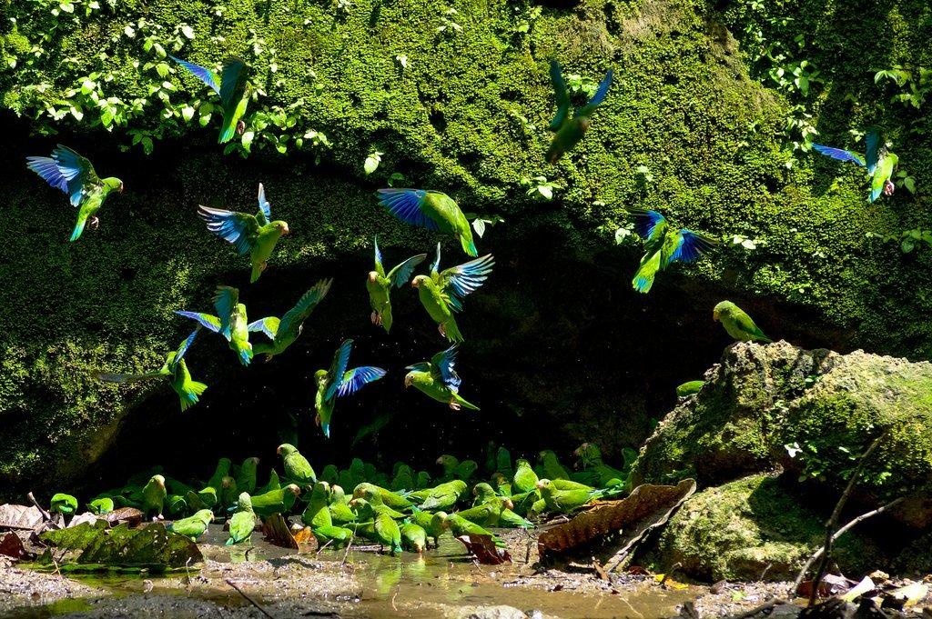 Parakeets at a clay lick cave in Amazonian Ecuador
