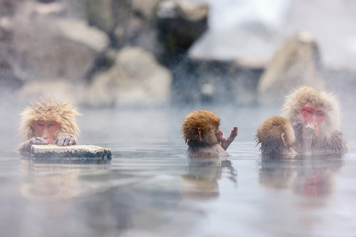 Wild Japanese macaques in a hot spring