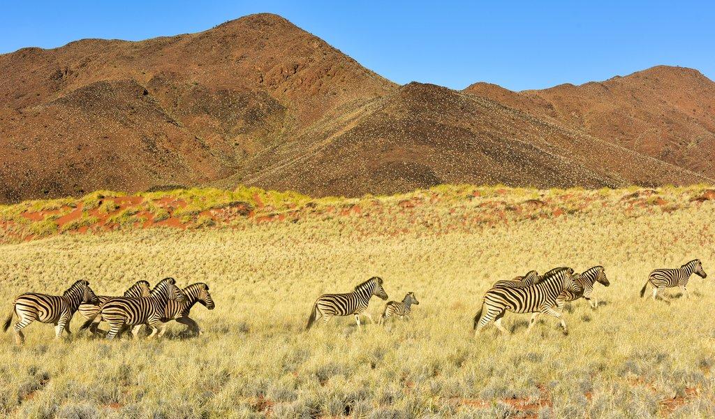 Zebras often roam through the NamibRand Nature Reserve