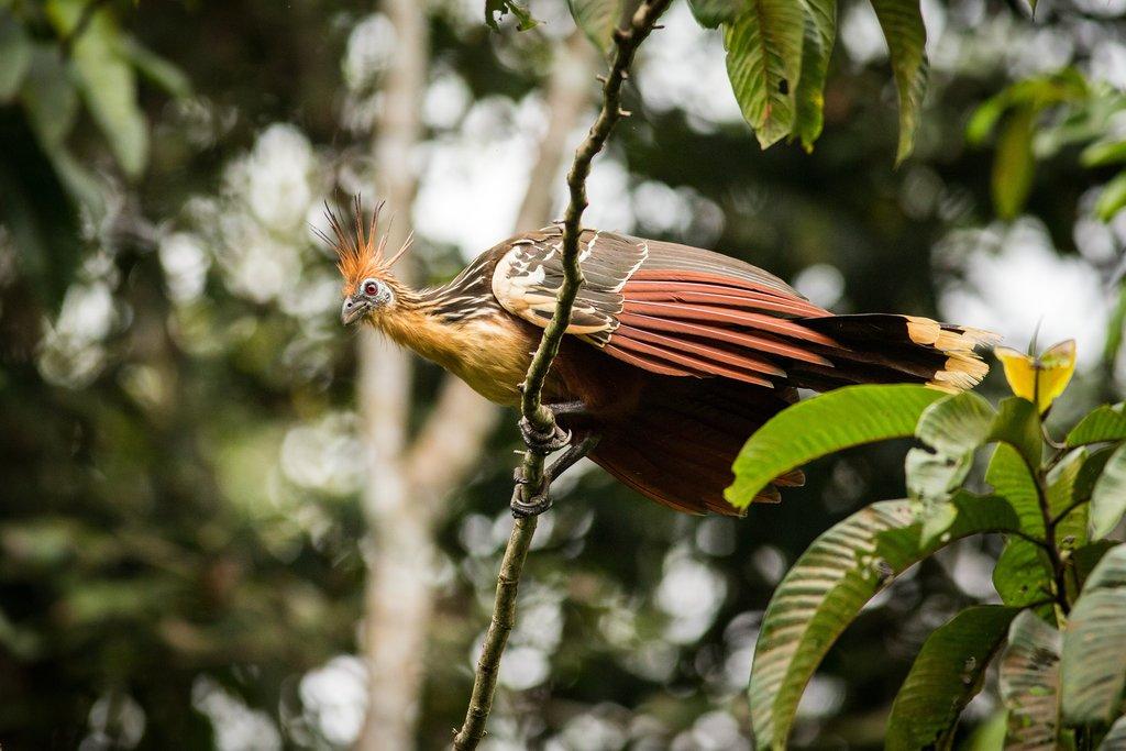 Hoatzin in Yasuni National Park