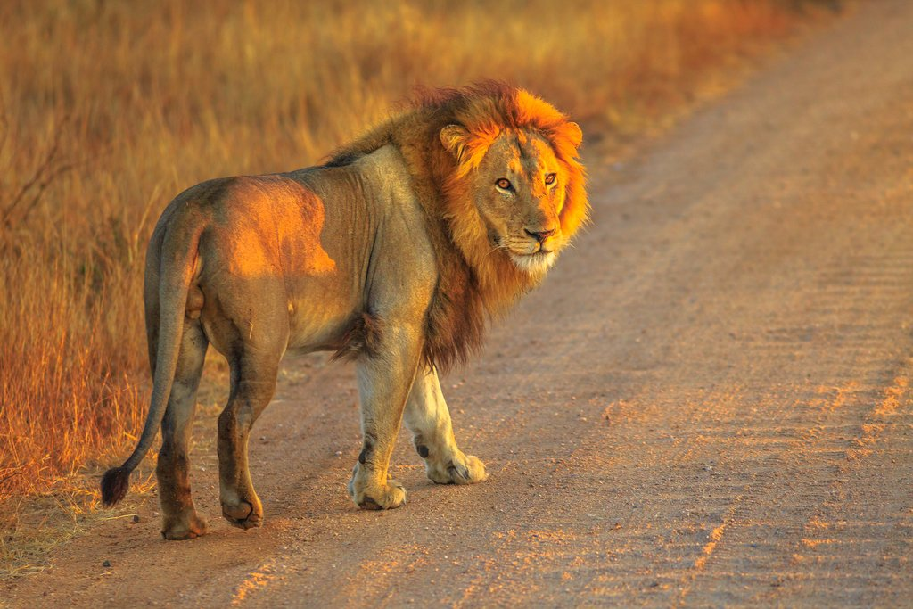 A lion at Kruger National Park