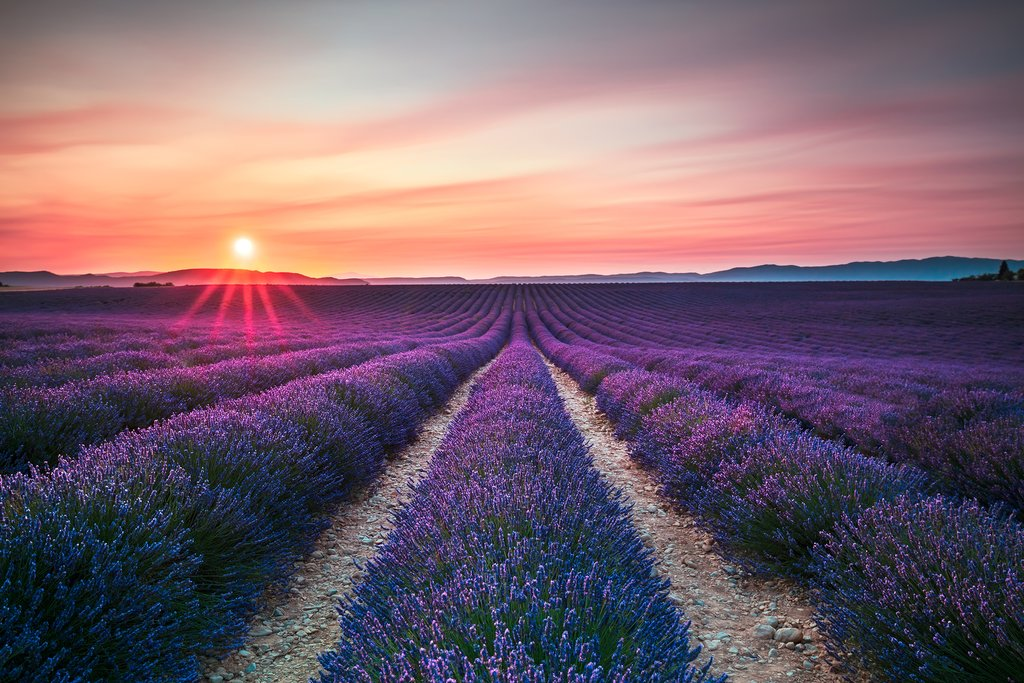 Drive through the lavender fields of Provence