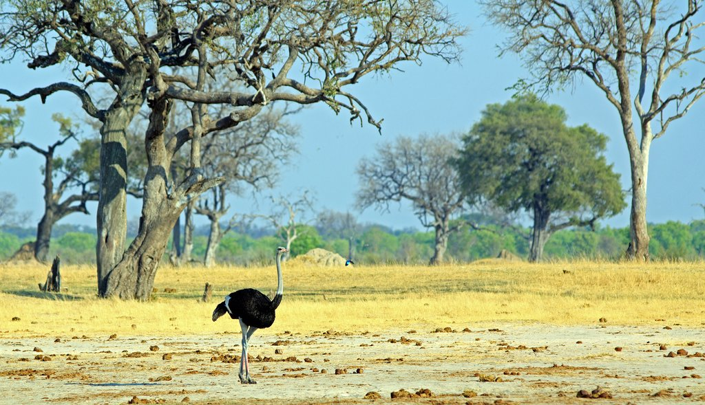 Ostrich in Hwange National Park