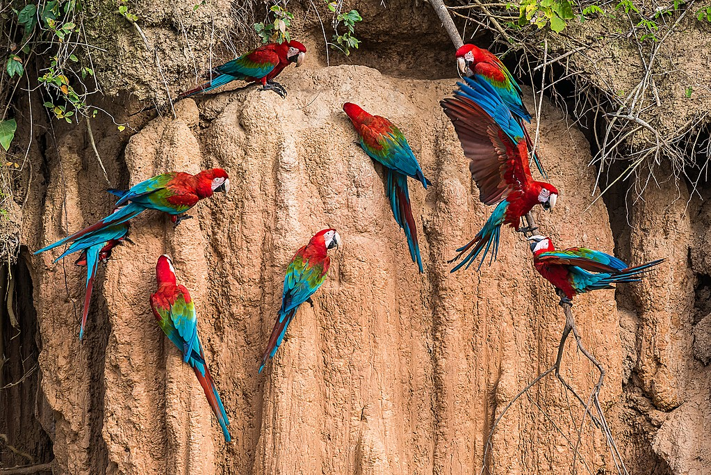 Macaws in clay lick in the Peruvian Amazon jungle