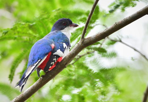 A tocororó, Cuba's blue-red-and white national bird