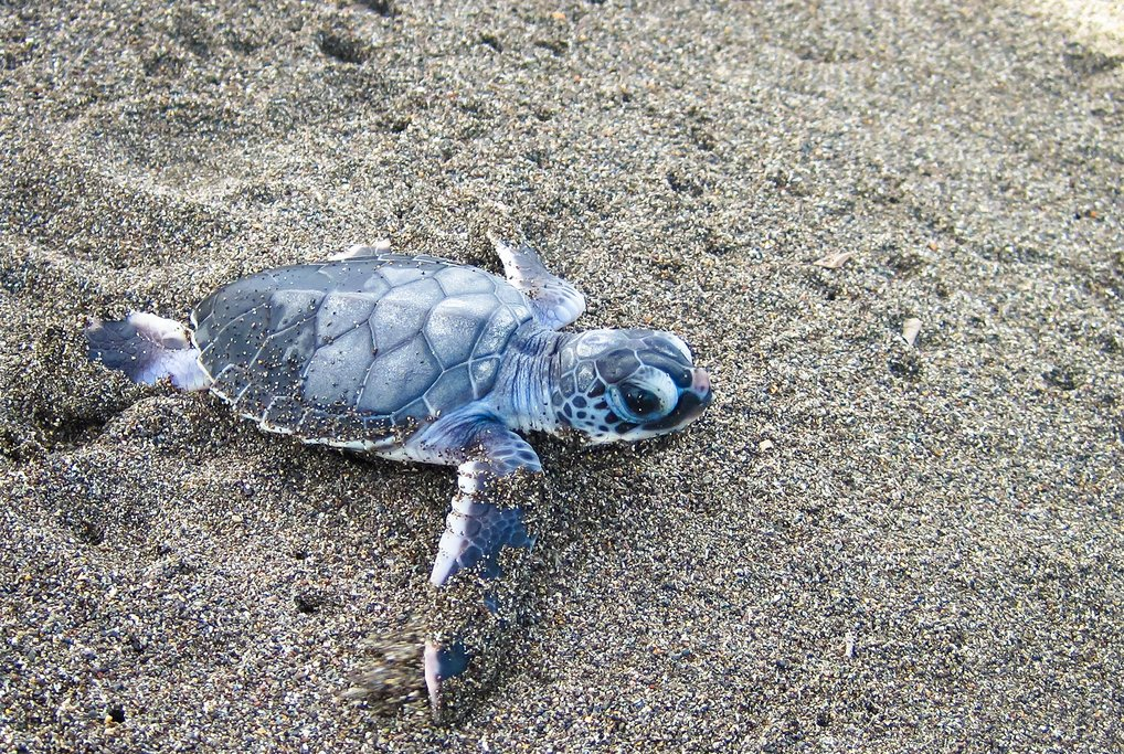 Turtle hatchling on the beach in Tortuguero