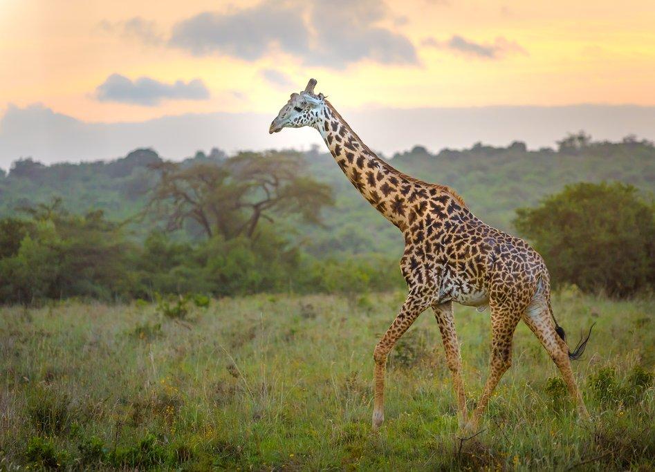 A giraffe at sunset in the Masai Mara National Park