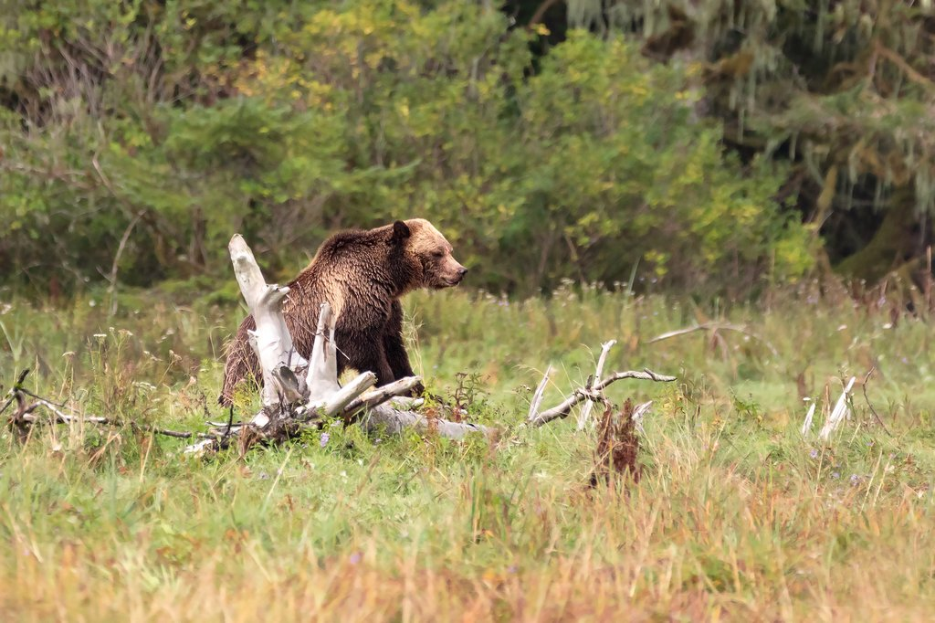 Adult Grizzly Bear spotted at Knight Inlet in the Great Bear Rainforest