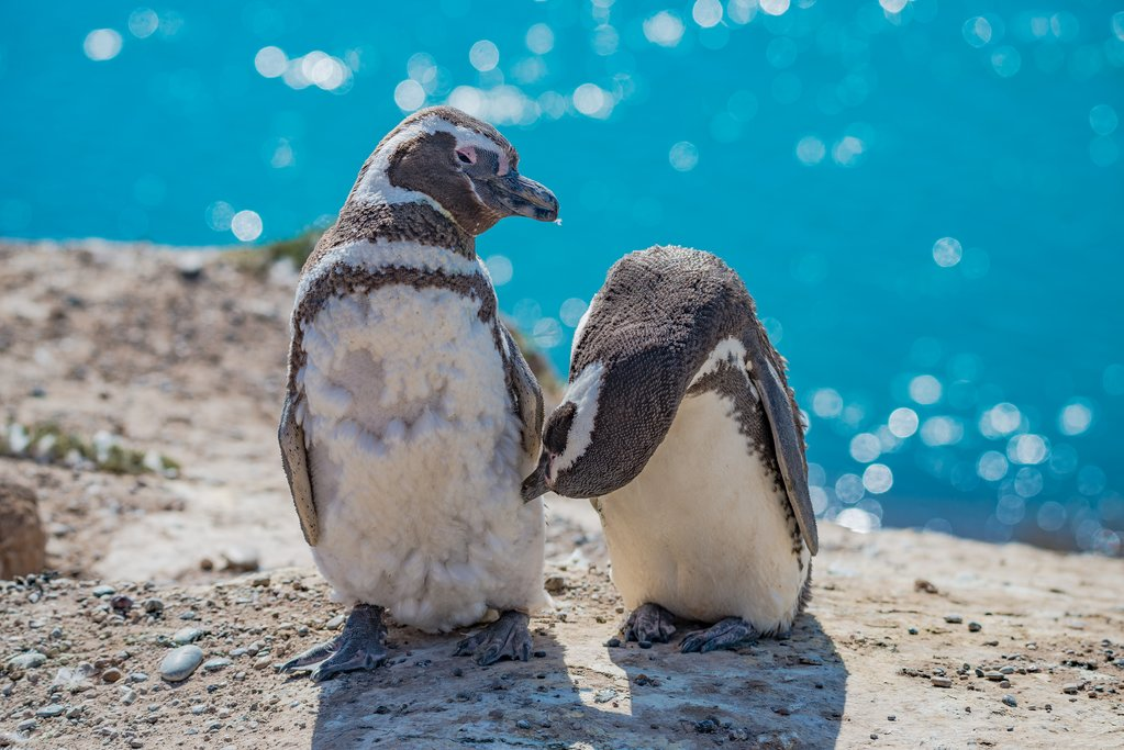 Magellanic penguin family at Peninsula Valdes