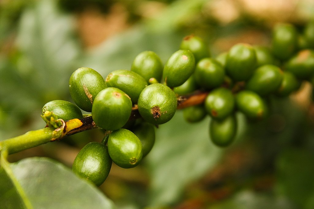 Green coffee beans ripening on the vine