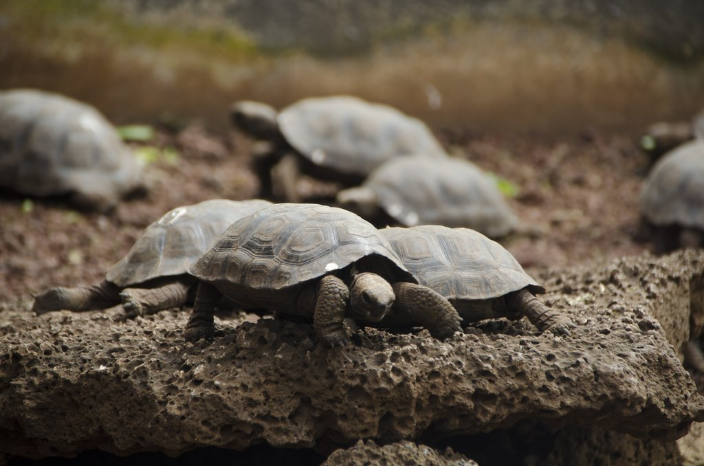 Tiny Tortoises of the Santa Cruz Breeding Center, Galapagos