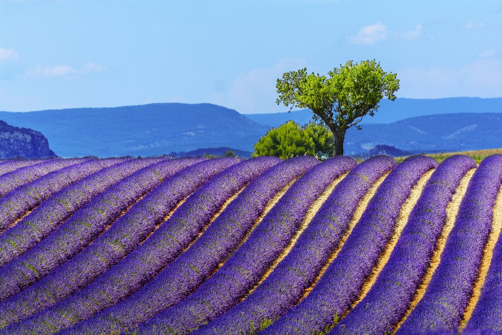 Lavender fields in the Valensole plateau