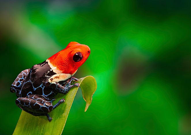 A red-headed poison dart frog