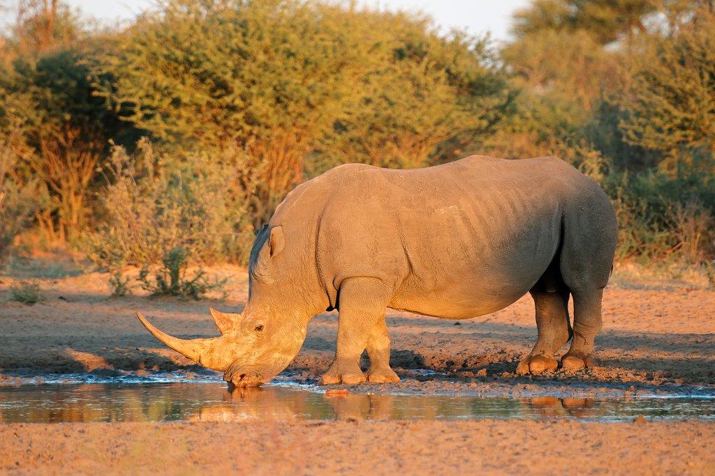 Rhino drinking at waterhole