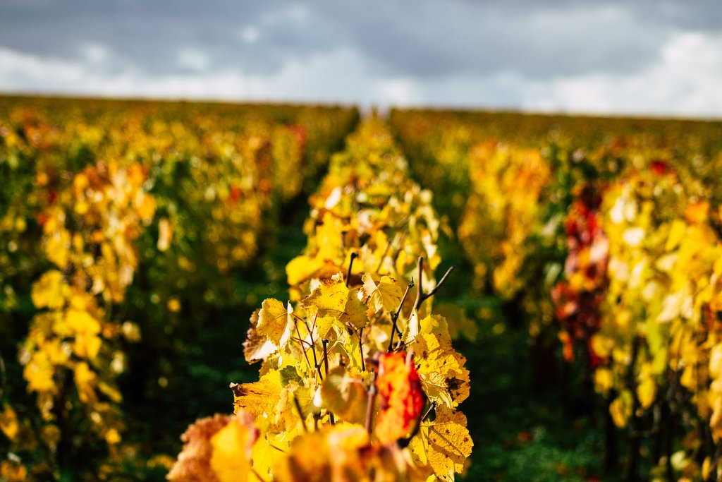 Taittinger Champagne house vineyards in autumn