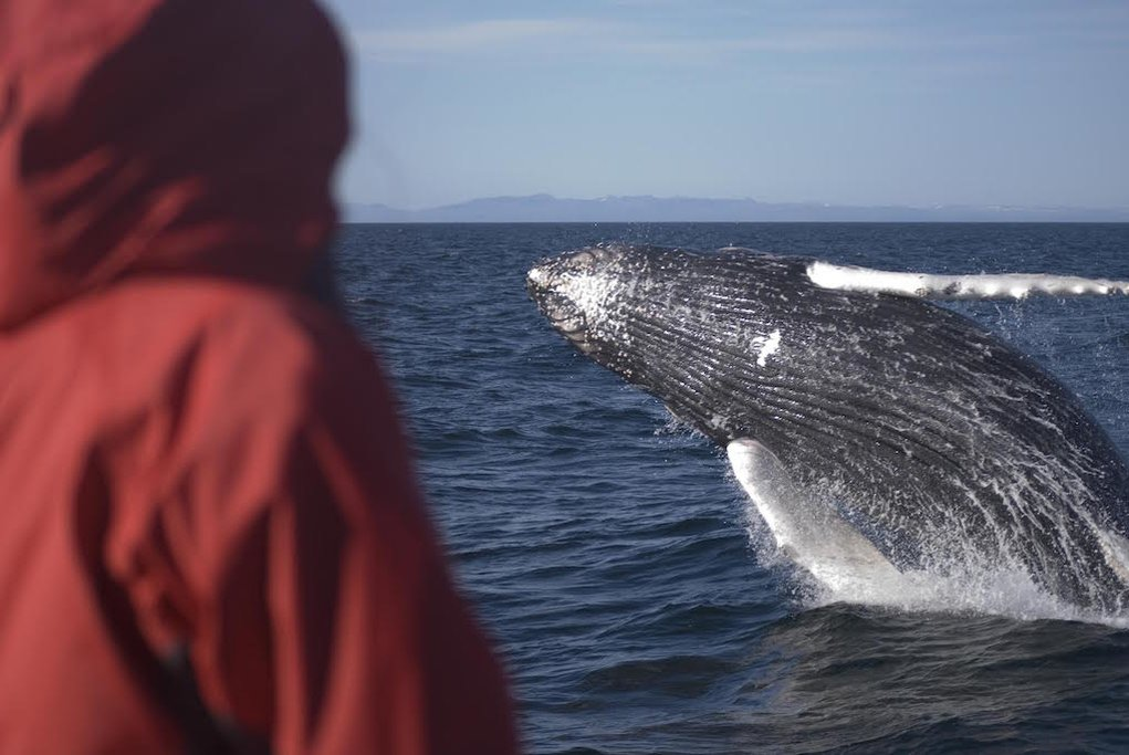 Whale watching is available all year round in Iceland
