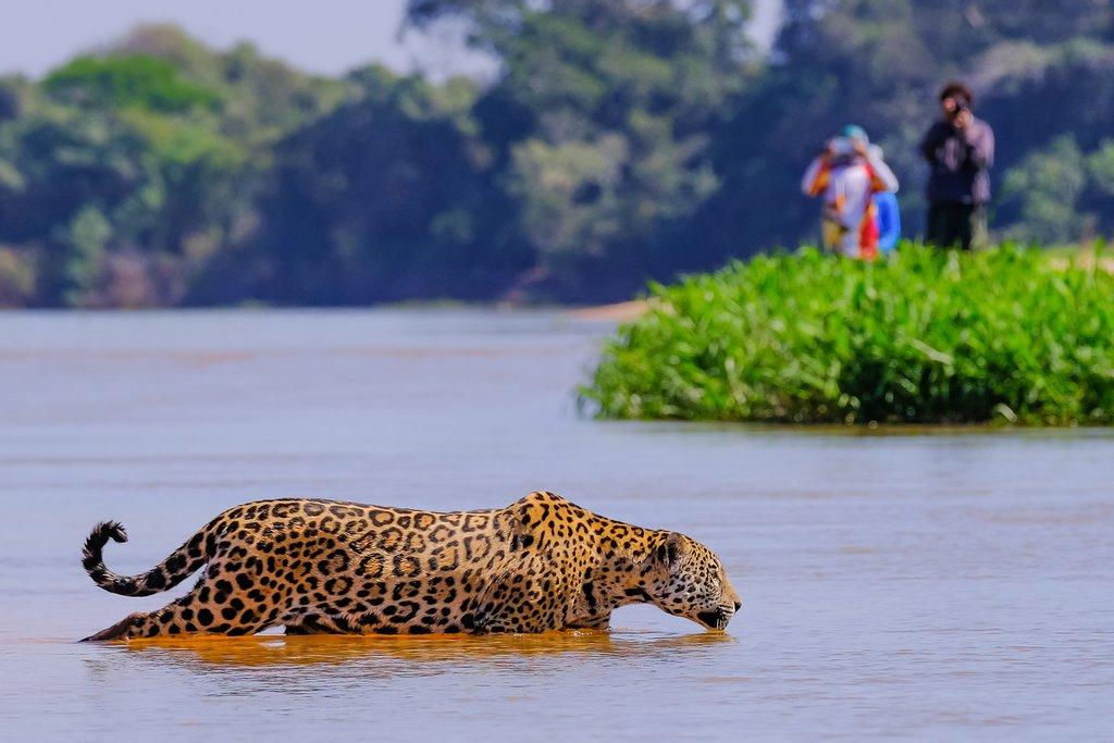 Jaguar in the Cuiaba River, Pantanal