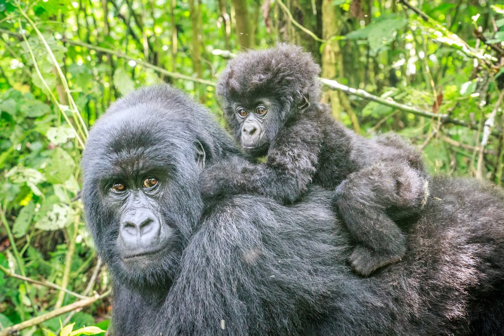 A mountain gorilla with her baby