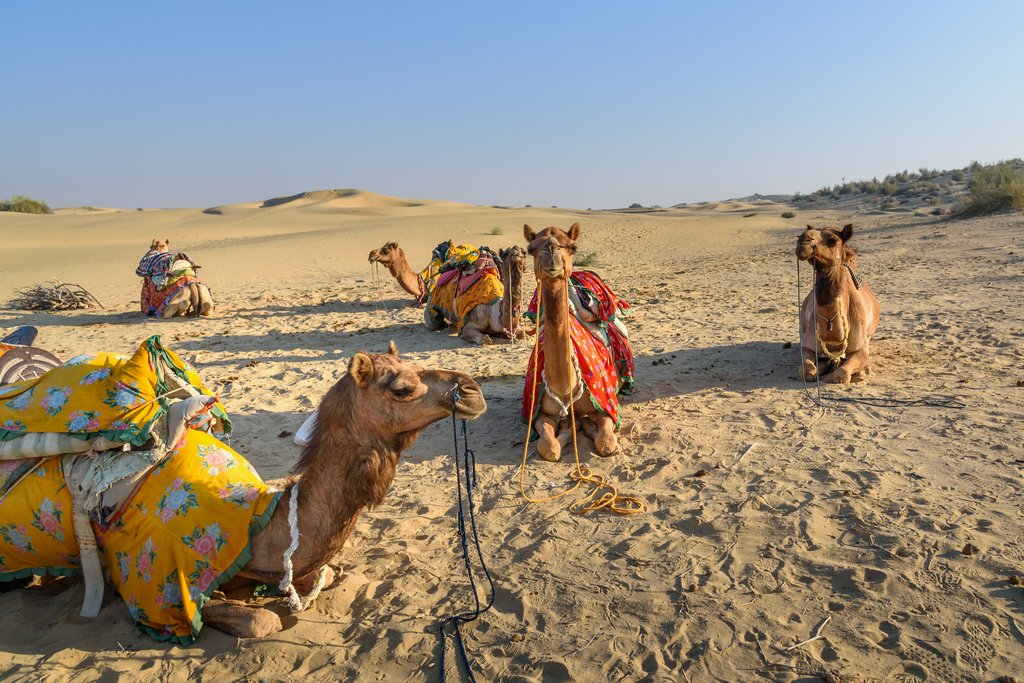 Camels in the Thar Desert in Rajasthan, India