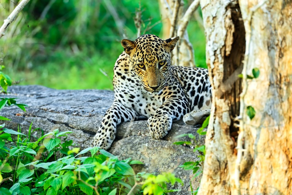A leopard in Yala National Park, Sri Lanka.