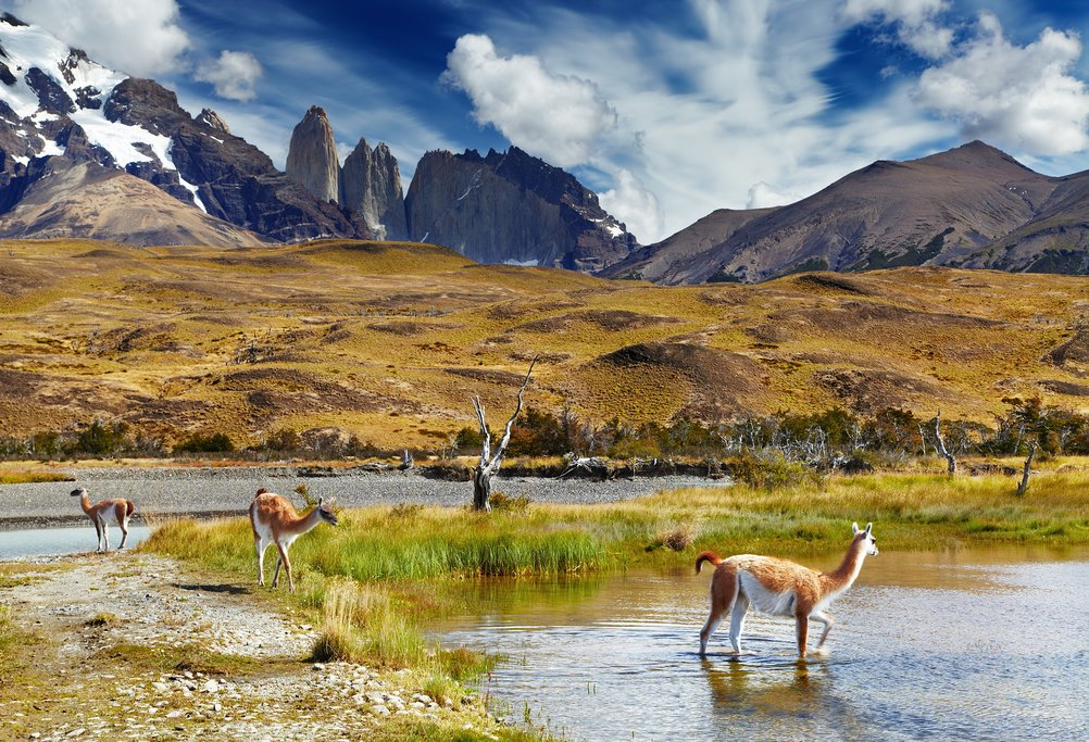 Grazing guanaco herds in Torres del Paine National Park.
