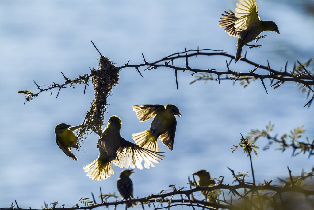 Spectacled weavers in Kruger
